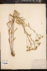 Image of Solidago chilensis