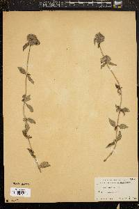 Image of Stachys arvensis