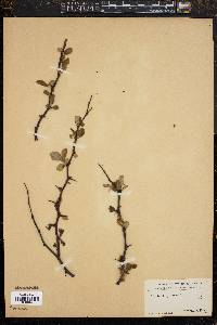 Image of Prunus japonica