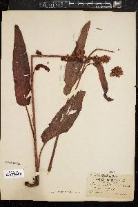Rumex occidentalis image
