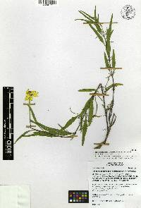 Image of Heliopsis suffruticosa