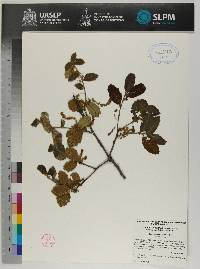Image of Quercus hypoxantha