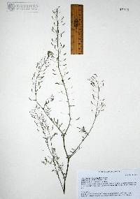 Descurainia pinnata image