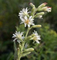 Image of Prenanthes aspera