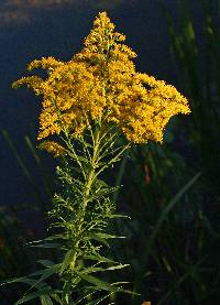 Image of Solidago altissima