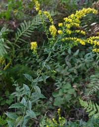 Image of Solidago rugosa