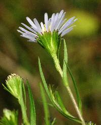 Image of Aster borealis