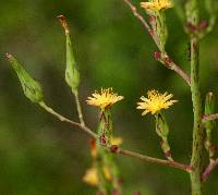 Image of Lactuca canadensis