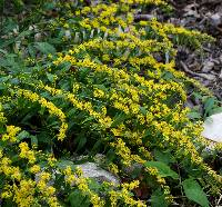 Image of Solidago caesia