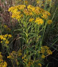 Image of Solidago riddellii