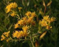 Image of Solidago rigida