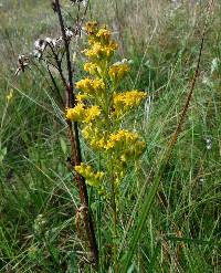 Image of Solidago uliginosa