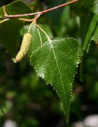 Image of Betula populifolia