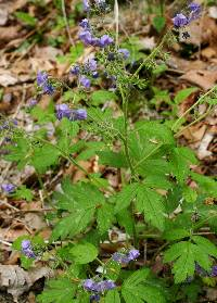 Image of Phacelia bipinnatifida