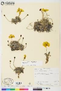 Image of Papaver mcconnellii