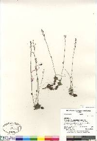 Image of Draba cinerea