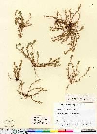 Aphanes arvensis image