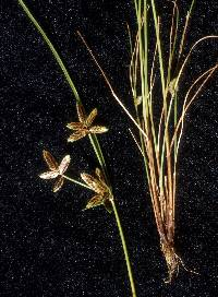 Image of Cyperus bipartitus