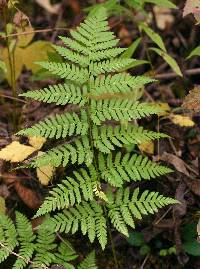 Image of Dryopteris carthusiana