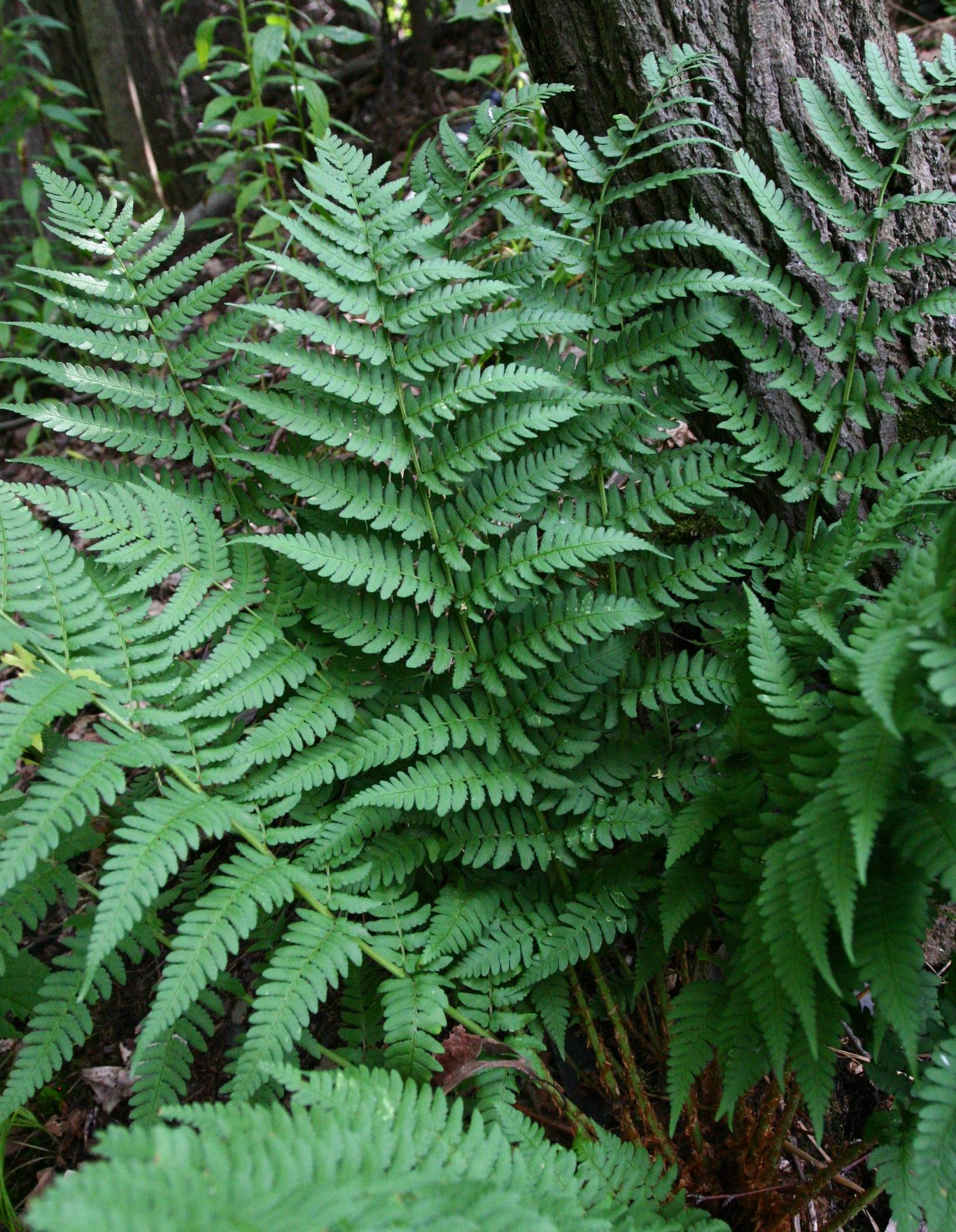 Image of Dryopteris marginalis