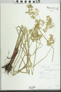 Image of Cyperus celluloso-reticulatus