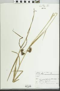 Image of Fuirena robusta