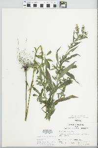 Aster ontarionis image