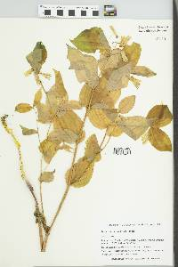 Disporum smithii image