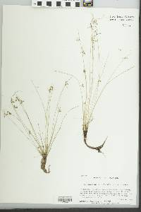 Image of Cyperus aristulatus
