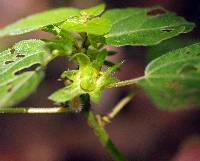 Image of Acalypha deamii
