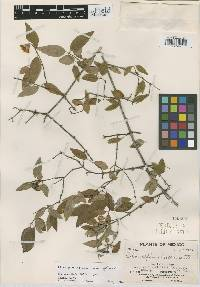 Image of Philadelphus osmanthus