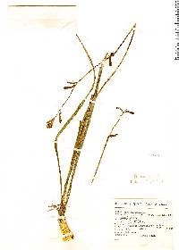 Image of Agave coetocapnia