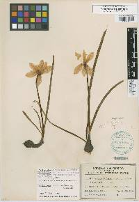 Image of Zephyranthes insularum