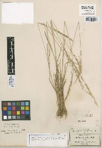 Image of Agrostis subrepens