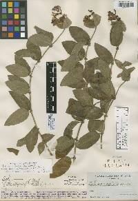 Image of Lonicera catalinensis