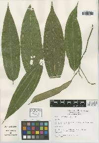Image of Bauhinia melastomatoidea