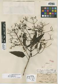 Image of Bidens distans