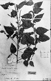 Image of Acalypha coleispica