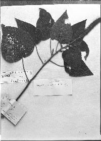 Image of Acalypha conspicua