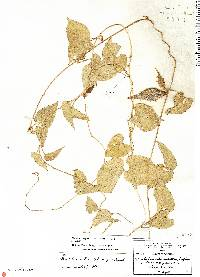 Image of Dictyanthus sepicola