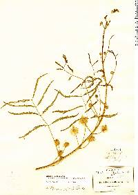 Image of Mimosa robusta