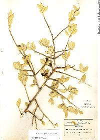 Forestiera phillyreoides image