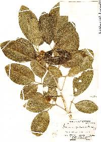 Image of Casimiroa pubescens