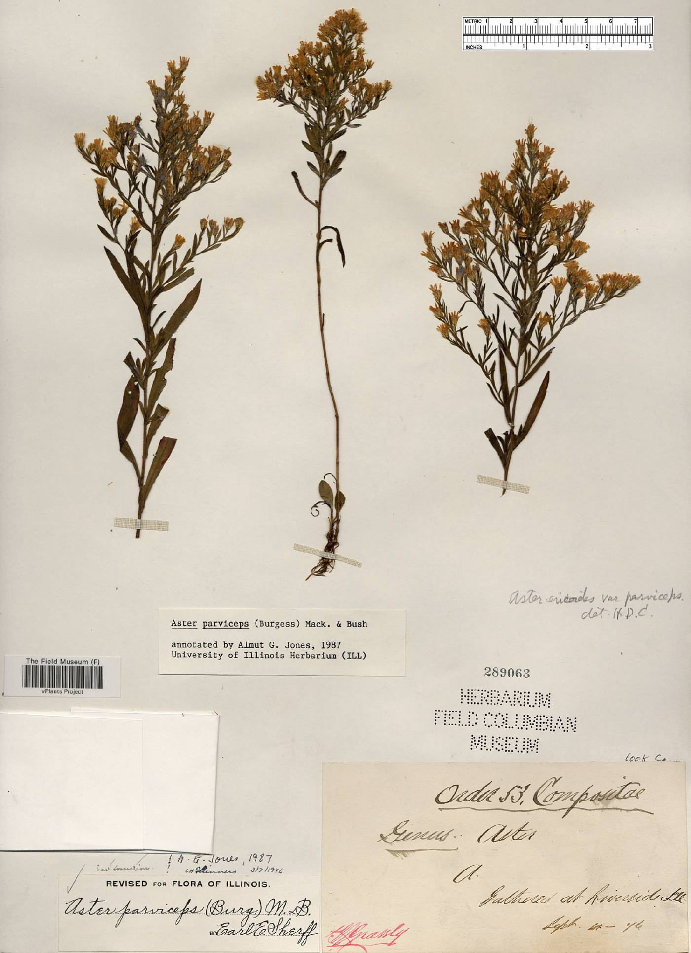 Aster parviceps image