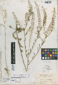 Image of Lepidium bernardinum