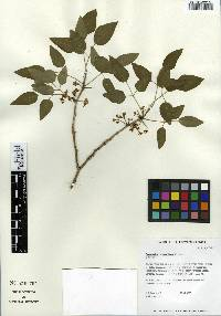 Image of Zanthoxylum hawaiiense