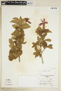 Image of Hibiscus clayi