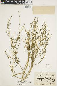 Chenopodium pallescens image