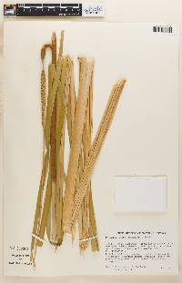 Typha domingensis image