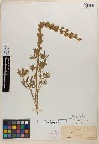 Image of Lupinus canescens